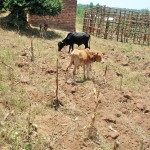 drought cattle